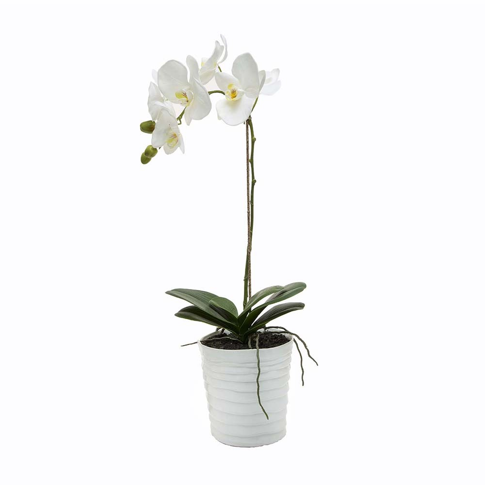 white-potted-phalaenopsis-orchid.jpg