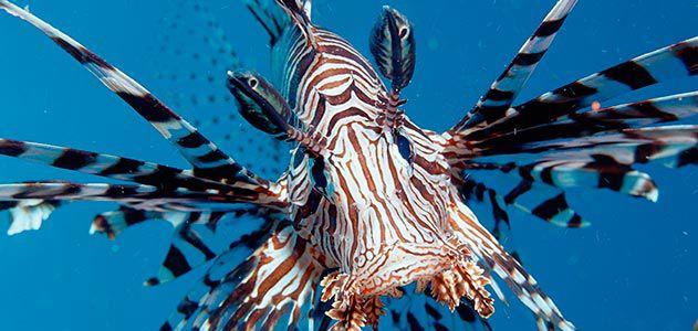 lionfish-invasion-631.jpg