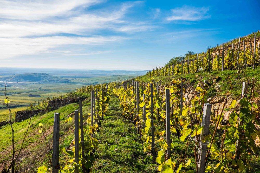 Király vineyard_ Mád_ Tokaj_ Hungary.jpg