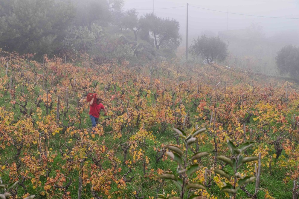 Misty November harvest on Mt. Etna |  ©John Szabo (published by Jacqui Small)