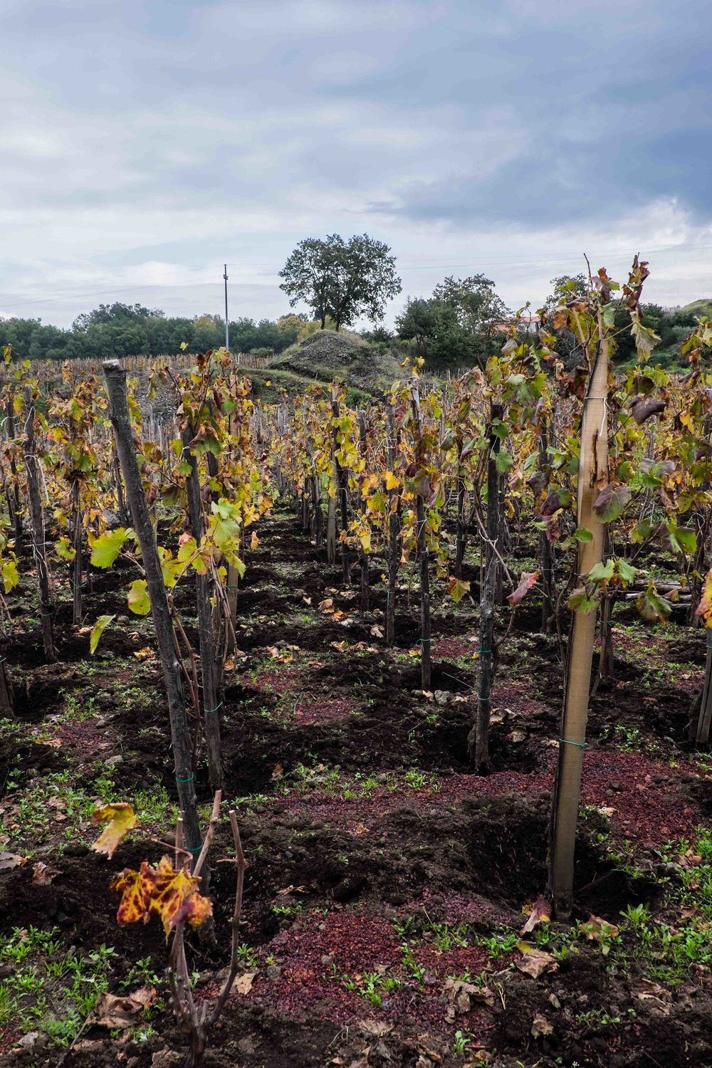 'Albarello Etneo': chestnut stake-trained old vines on Mt. Etna |  ©John Szabo (published by Jacqui Small)