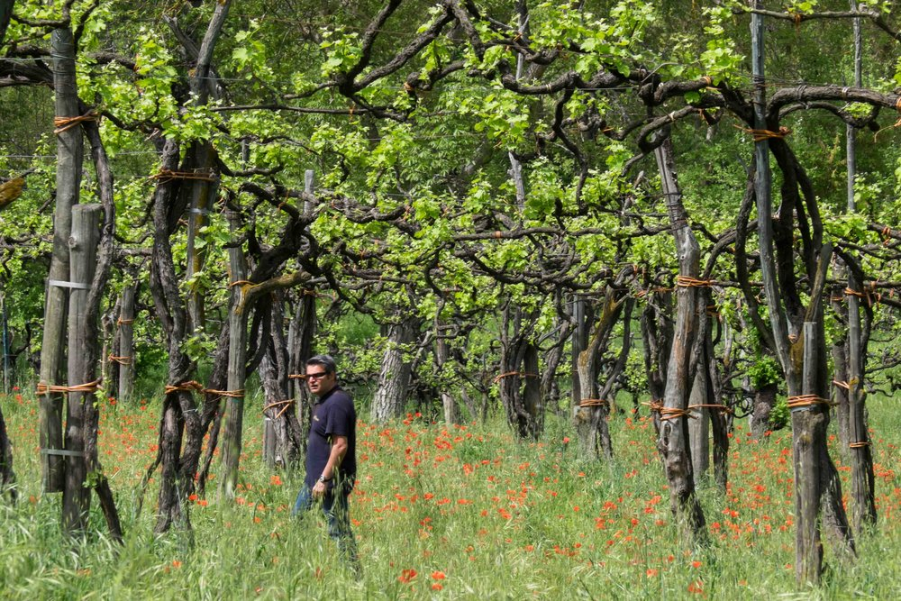 Ancient aglianico vines, Taurasi-Campania    ©John Szabo (published by Jacqui Small)