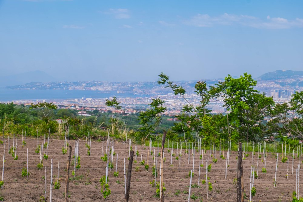 Vesuvius vineyards with Bay of Naples and city in rear | ©John Szabo (published by Jacqui Small)