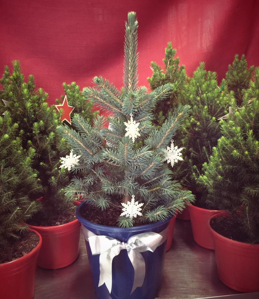 blue-star-potted-christmas-tree.jpg