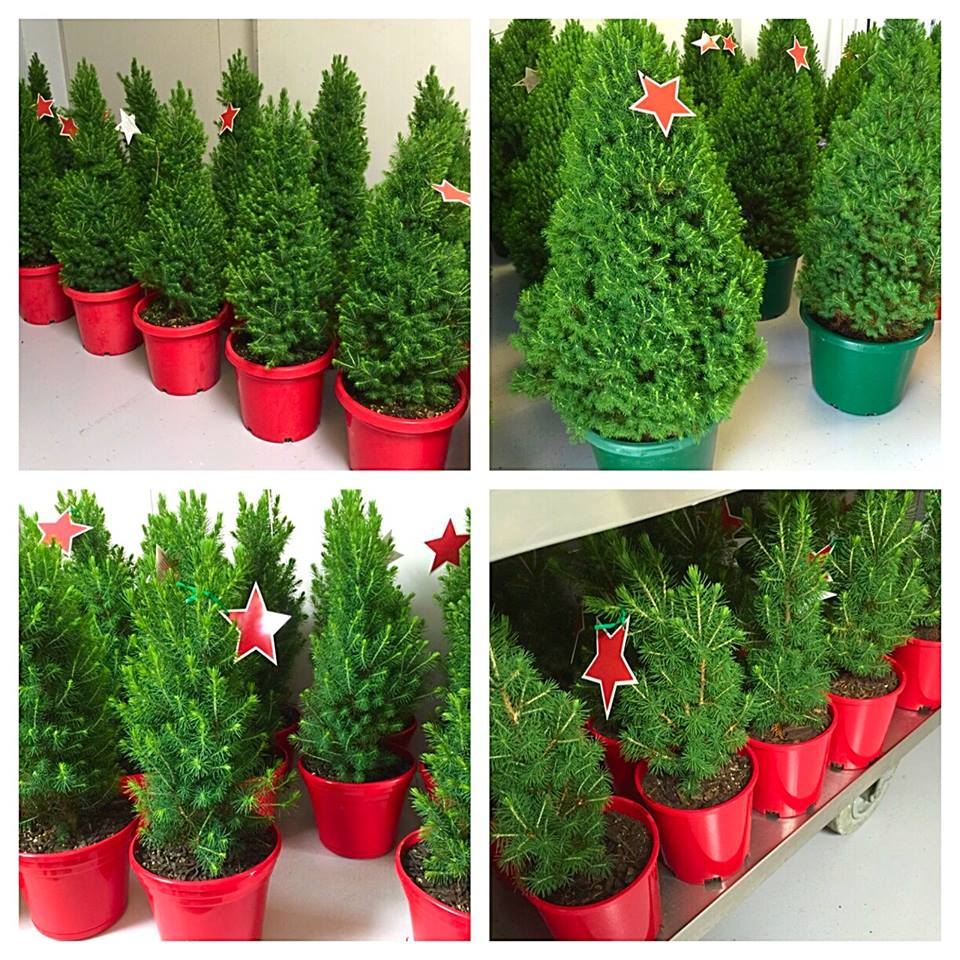 Merlino 39 S Christmas Trees