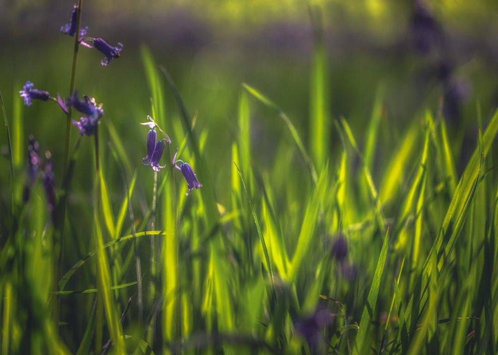 Spring Bluebells No 2