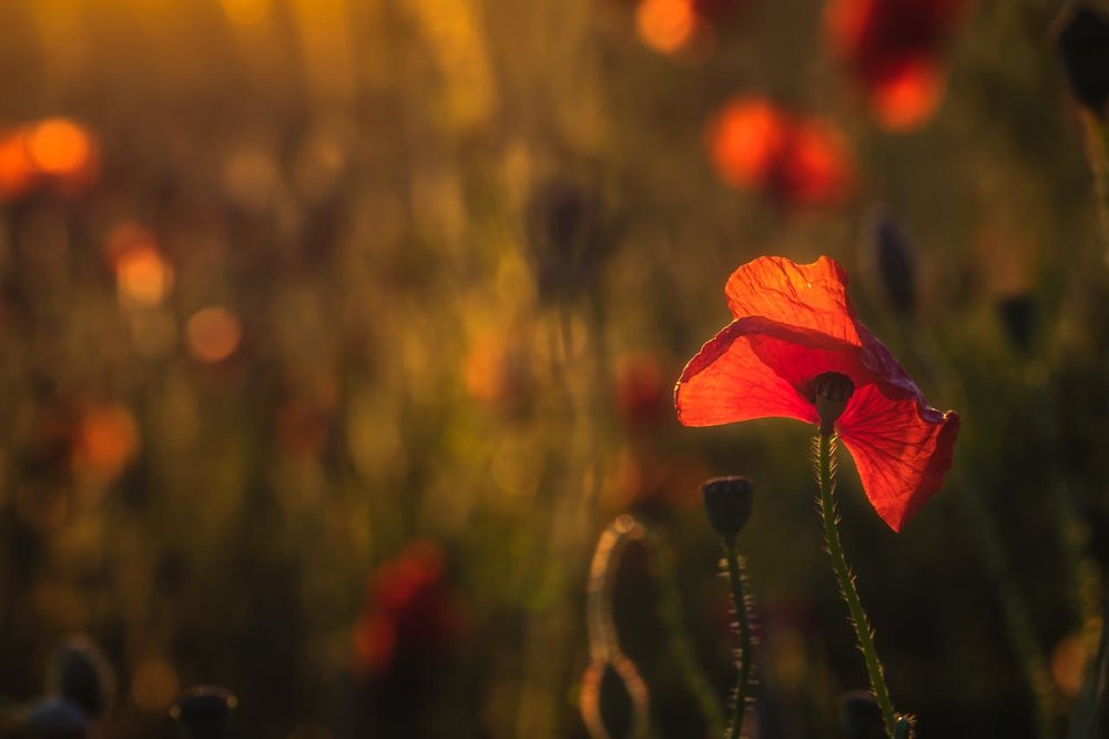 Kingswindford Poppies No 25