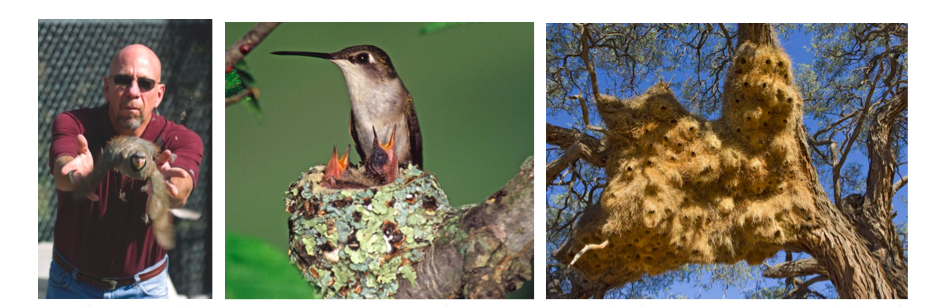 Ken Dial (Google image), Ruby-throated Hummingbird nest, Sociable Weaver nests (BBC Earth, 2015,Retrieved 04/16/2018 from:    http://www.bbc.com/earth/story/20150307-the-16-most-amazing-bird-nests
