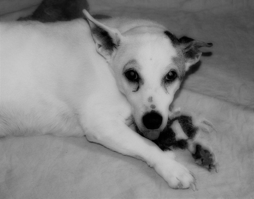 Hugo - 12-years-oldHugo was a big round Jack Russell terrier.He had so many tumors all over his body he looked lumpy.He loved eating and sleeping on the wee wee pads.