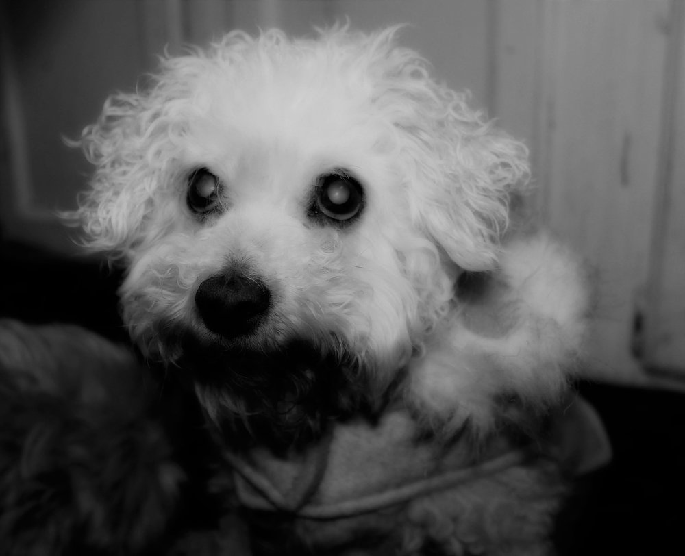 Iris - Iris was a blind Bichon that came to the shelter as a stray.She was a very sweet girl, but didn't live long after we got her.She died from liver disease.