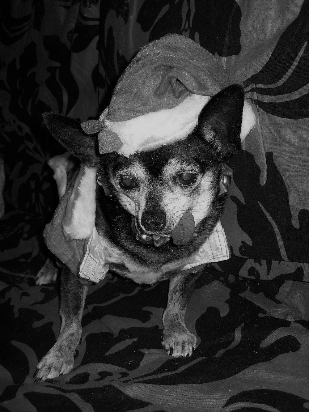 Lazlo - 14-years-oldLazlo came as a bonded pair with a dachshund named Maxine. They weren't really bonded.He was very fearful and terrified of humans. He came from a puppymill.He was just starting to warm up to us, and would even take a treat from your hand, but he died of heart failure.