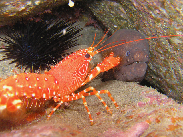 Diving - Canarian Lobster, Tenerife