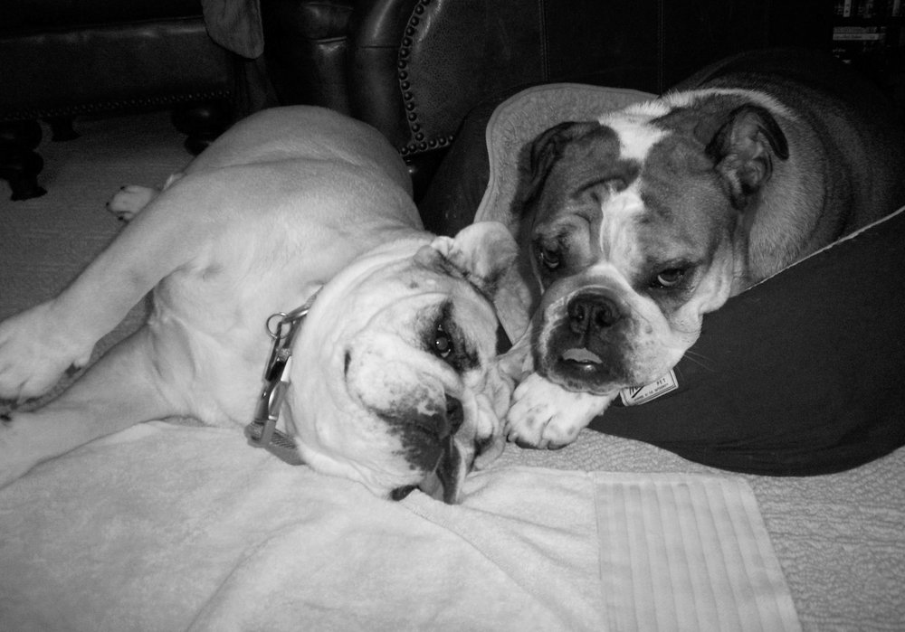 SASHA & MISS BEATRICE - {Sasha was adopted into a home with a dog aggressive English Bulldog, Beatrice. The clients were determined to ensure safe co-habitation amongst the two females}