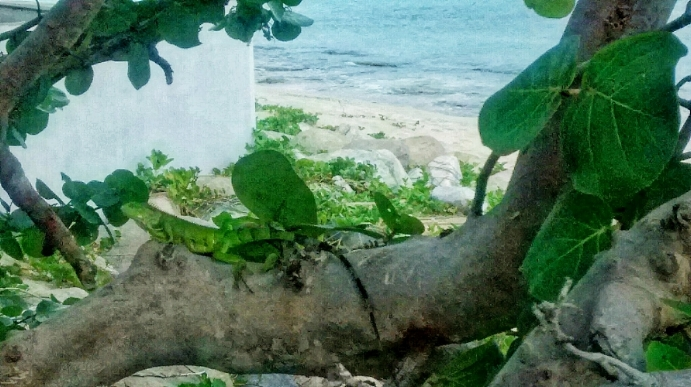 An Iguana on a beach in St. Maarten. Sony Z1, This photo looked fabulous on my phone. Which is the only place mobile phone photos tended to look great circa 2011.