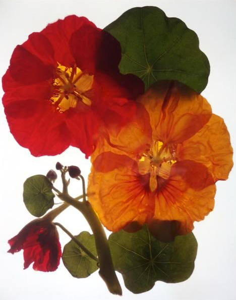 "NASTURTIUM BLOSSOMS &.LEAVES | 1997 | 38"" x 30"""