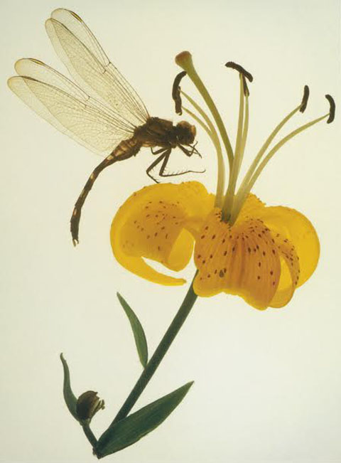 DRAGON FLY & LILY | 2003 | 38' x 30""