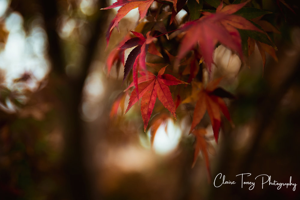 red Japanese maple tree leaves.