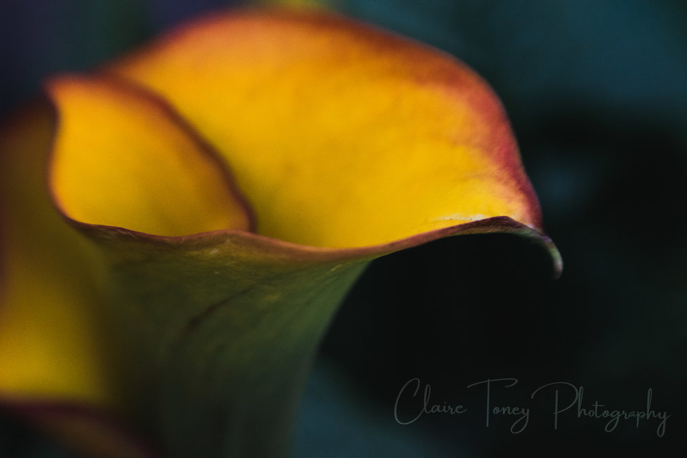 red and yellow Calla lily macro photography