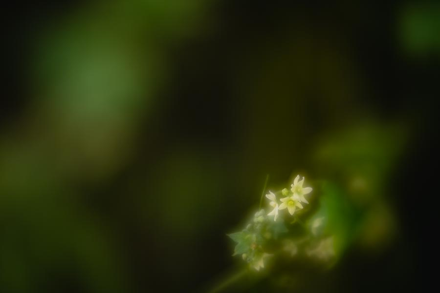 Photograph of small flowers taken with Lensbaby Velvet 56 lens at the American River Bike Trail