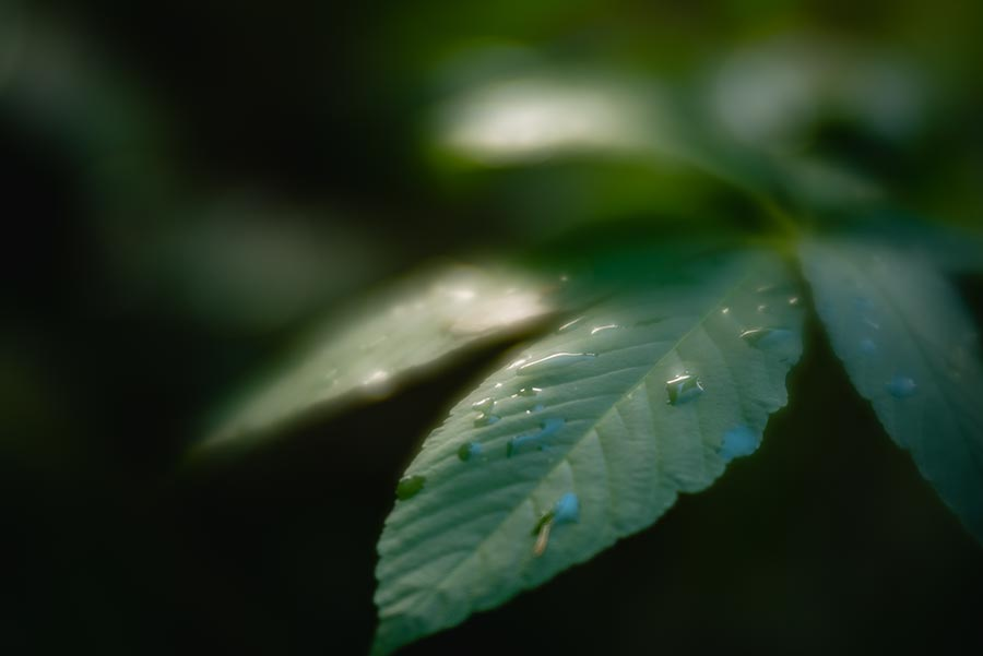 Waterdrops on green leavees taken with Lensbaby Velvet 56 lens at the American River Bike Trail