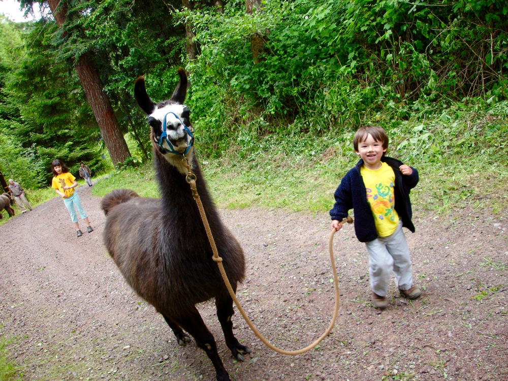 At four, my son leads our llama Shandy down the road.
