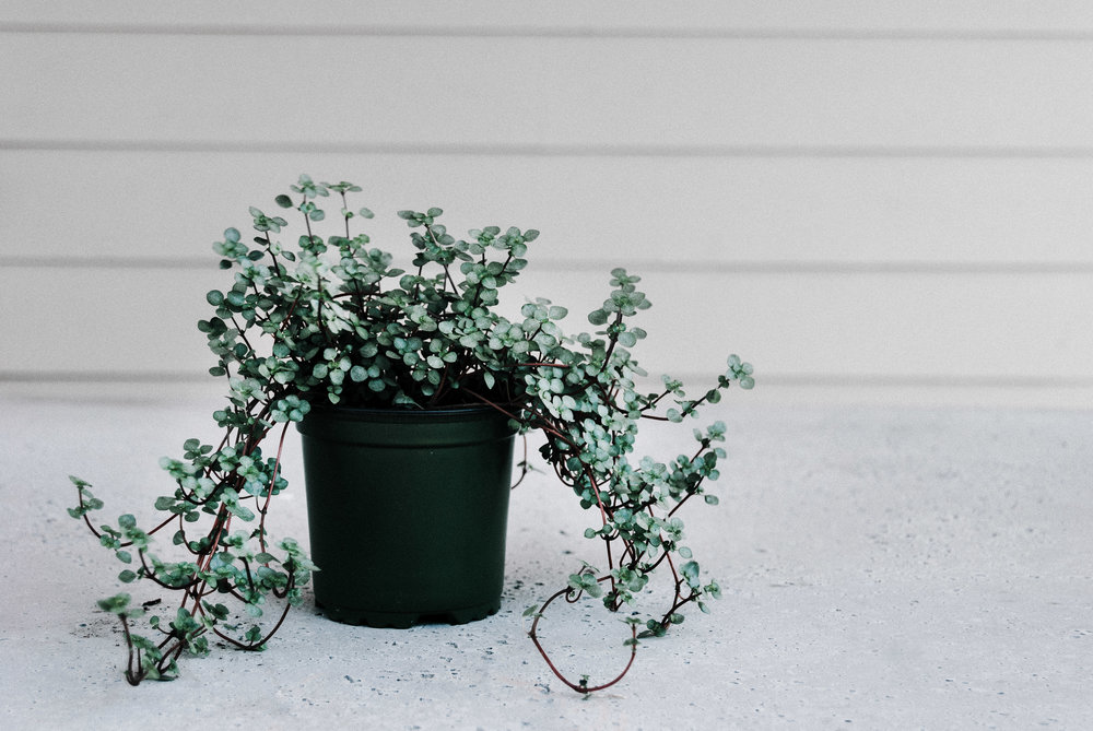 Silver sparkle pilea - houseplant care guide by Revive Nursery