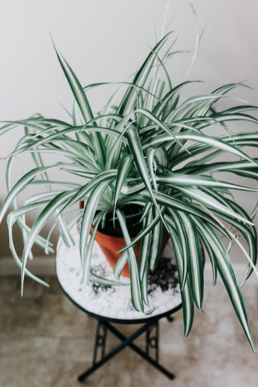 How do I get ride of brown tips on my sipder plant? Keep your spider plant alive and happy! - Want to find your perfect houseplant? TAKE THE QUIZ!