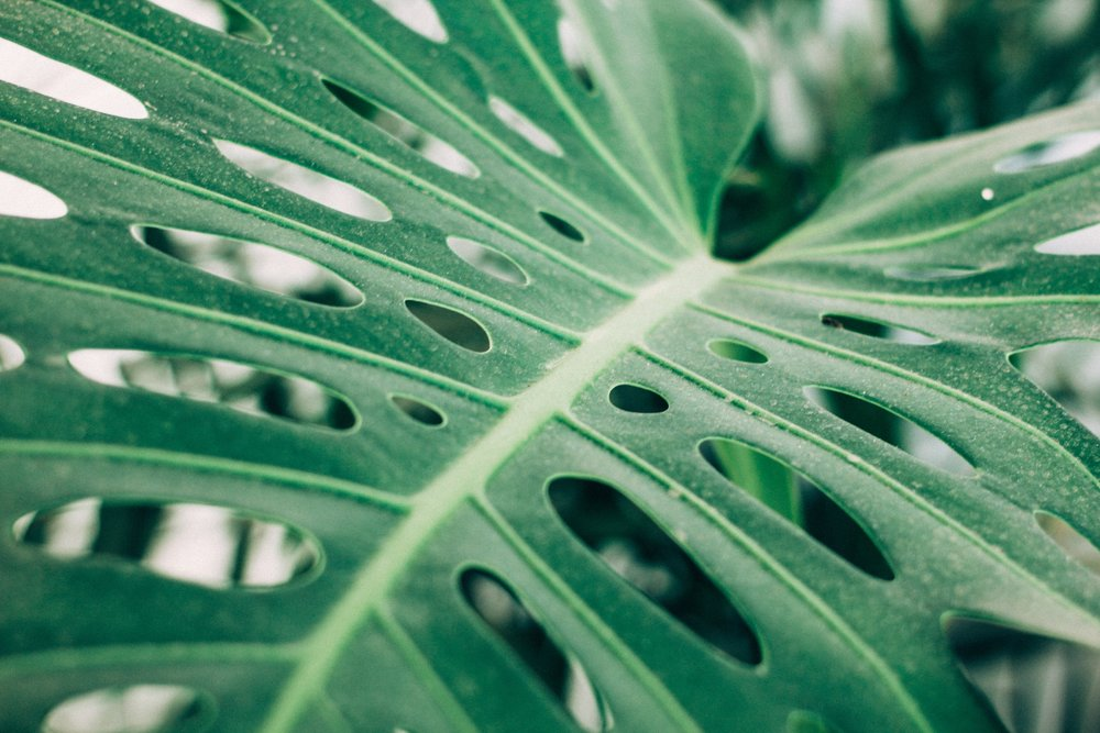 Monstera delciosa houseplant care guide - Keep your monstera looking so very Instagram worthy! #revivenursery