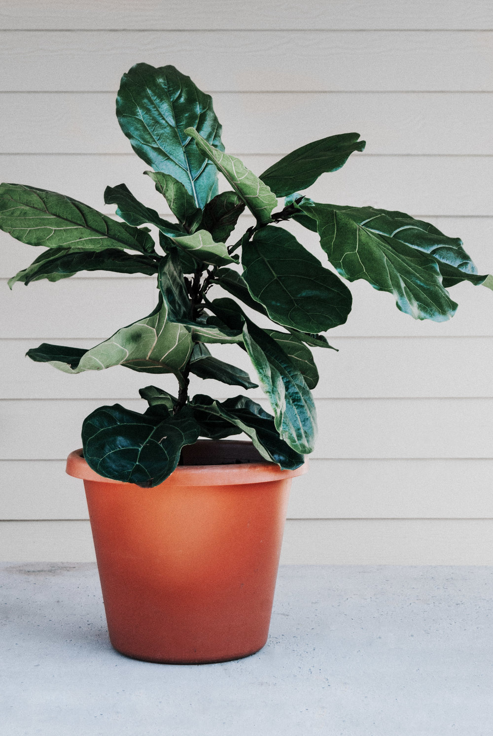 Fiddle Leaf Fig (Ficus lyranta) houseplant care guide - Take the quiz & find out what houseplant is best for you!