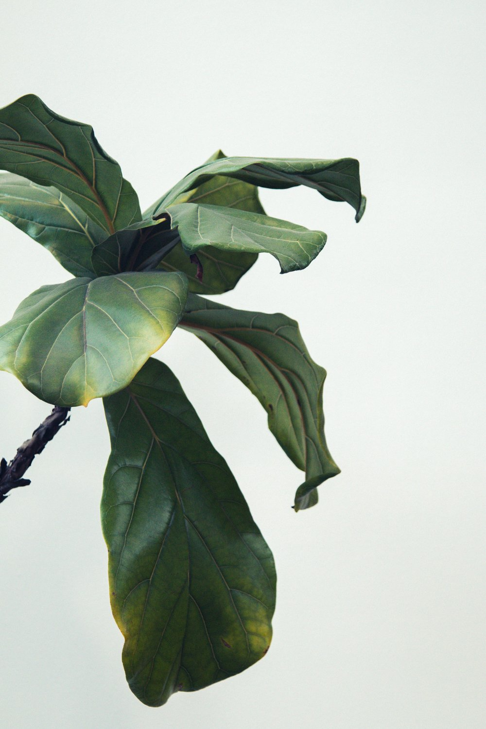 See the yellowing on the leaves? That is a sign of either over or under watering, typically over. Feel the soil to determine which. - Fiddle leaf fig houseplant care guide #revivenursery
