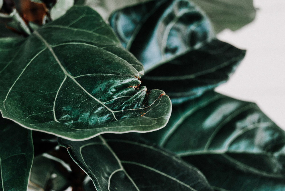 See that crumpled leaf? I can tell you how tp prevent that! Hint: add humidty! FIDDLE LEAF FIG CARE GUIDE