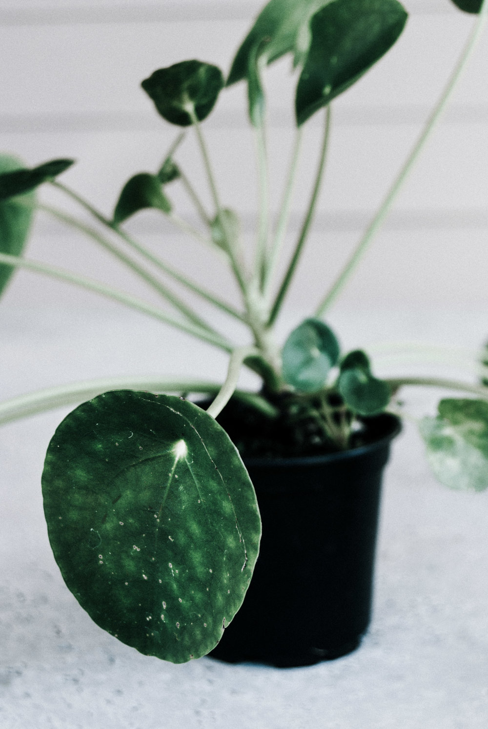 Chinese money plant (Pilea peperomioides) - houseplant care guide by Revive Nursery