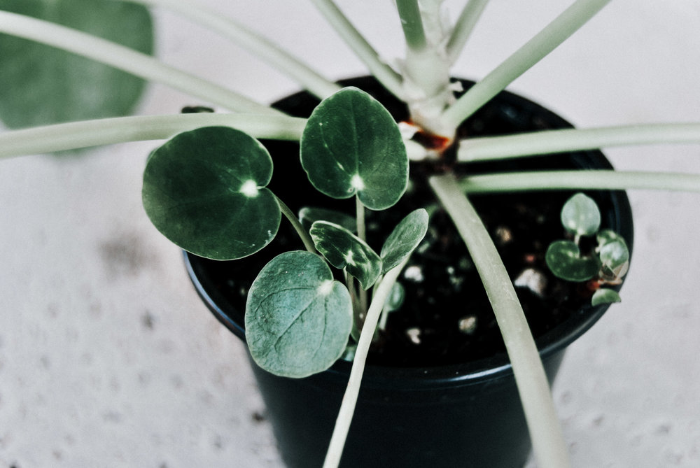 Pilea peperomioides houseplant care guide - How to propagate Chinese money plant