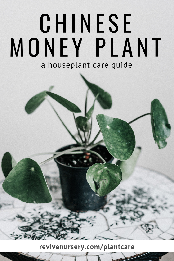 pilea peperomioides (chinese money plant) houseplant care guide #revivenursery.png