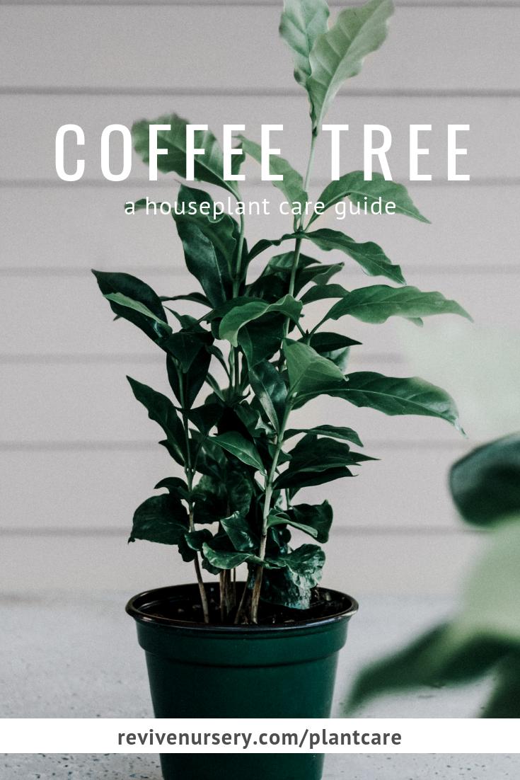 Coffee plant (coffea arabica) houseplant care guide #revivenursery.png