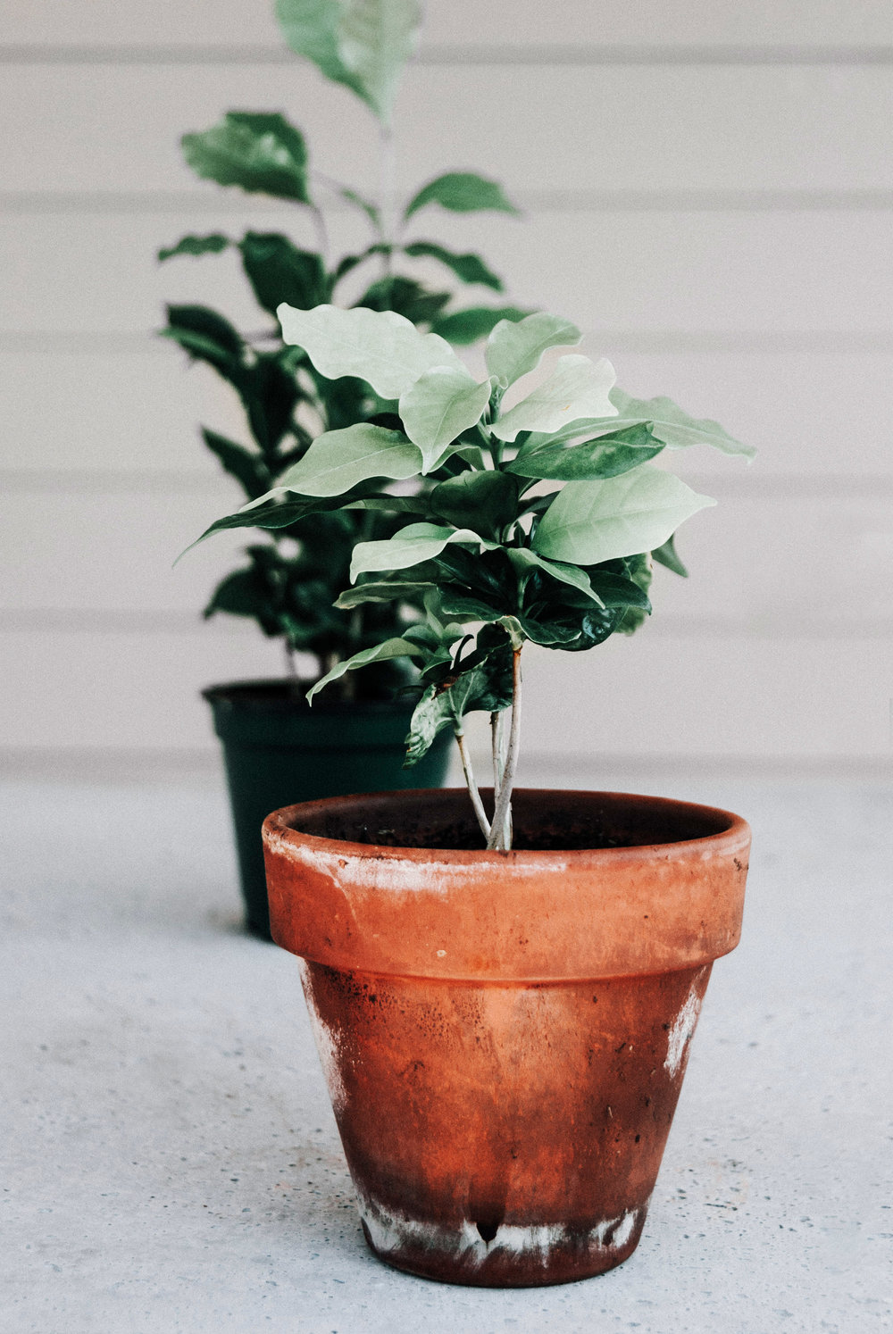 Coffee tree houseplant care guide - Take the quiz & find out what houseplant is best for you!.jpg