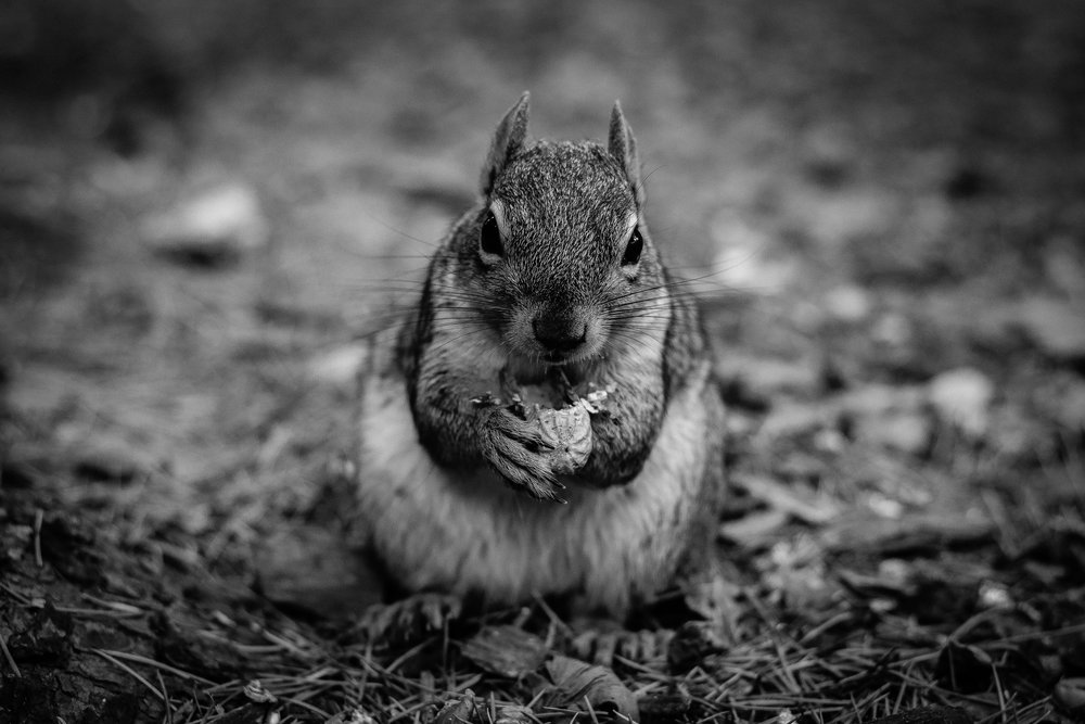 Squirrel BW.jpg