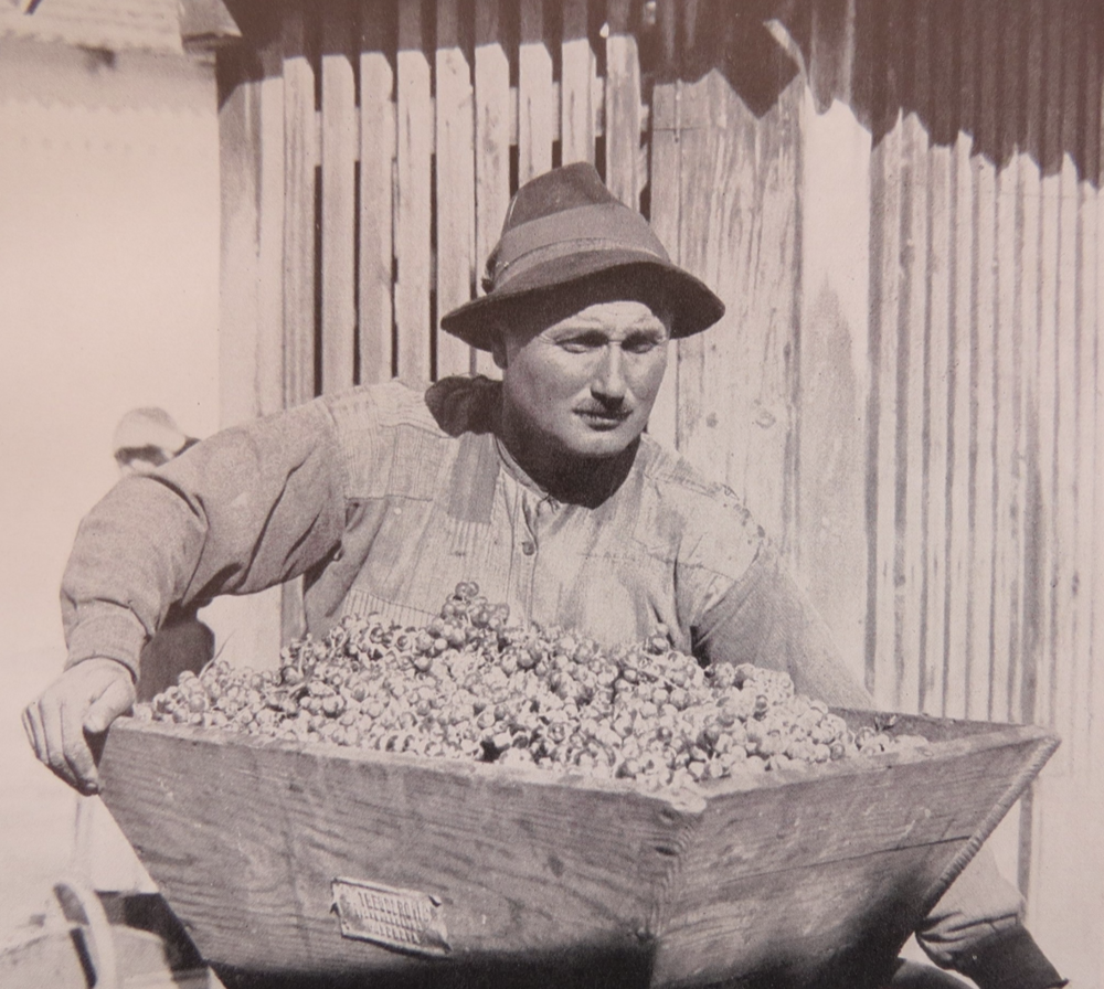 Village man collecting grapes.