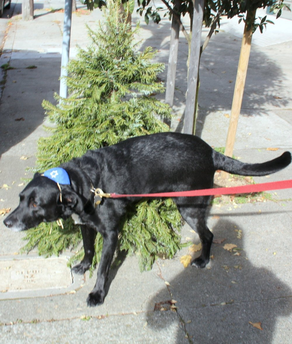 Eddie pooping on a Christmas tree.JPG