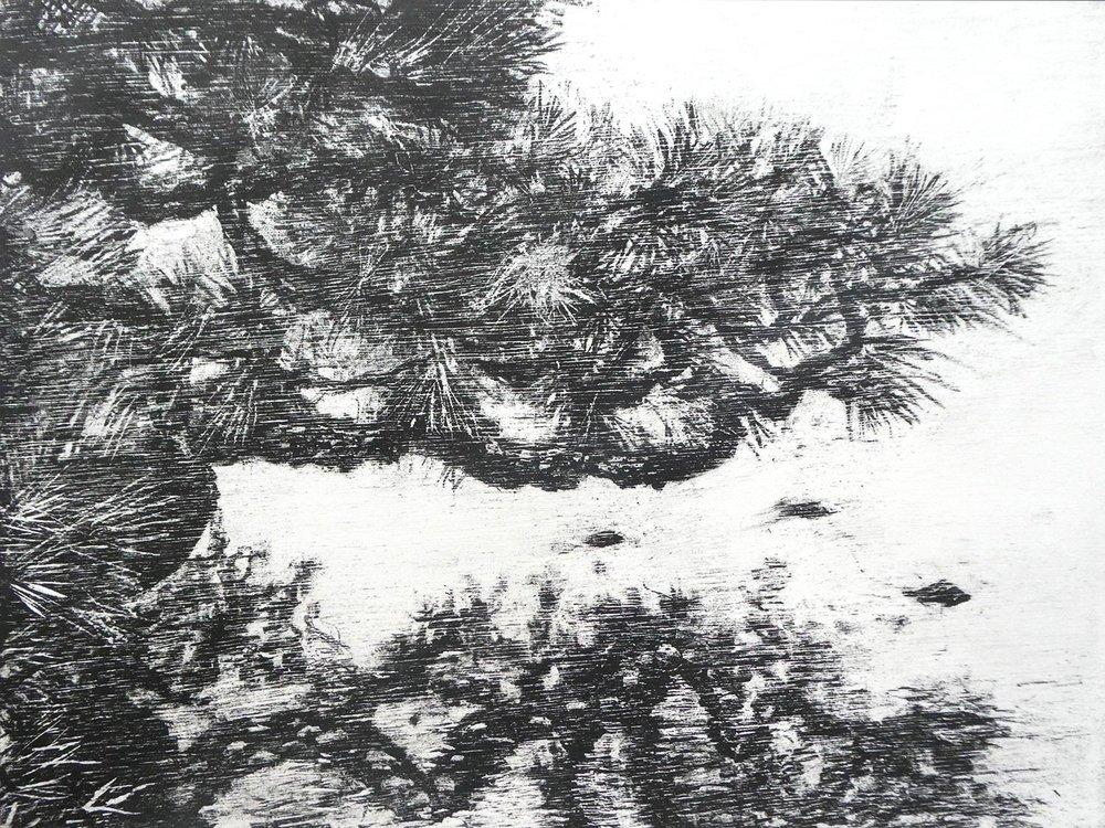 Black Pine Reflection