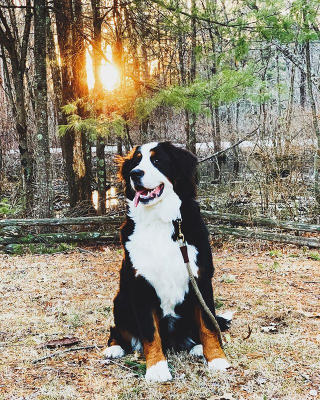 for years i've dreamt of a house in the woods & a bernese mountain pup (or 12, but we're getting there). feeling thankful for our little home, springtime & this monster. yesterday we set up the hammock in the yard - anyone else's dog love laying in the hammock?! ellie is so big she kept flipping the whole thing over... 😂 . . . . . . #weddingphotographer #dowhatyoulove  #bernesemountaindogs #bernesemountaindog #bernese #bernesepuppy #bernesedaily #berneselove #bernesemountaindogpuppy #bernesemountaindoglovers #berneseoftheday #dogsofinstagram #puppy #puppiesofinstagram #bernese_feature #bernesemountaindogpuppy #bernesemountaindogsofinstagram #worldofberners #bernerpuppy #bernersofinstagram #bmd #risingtidesociety #dog #mydogist