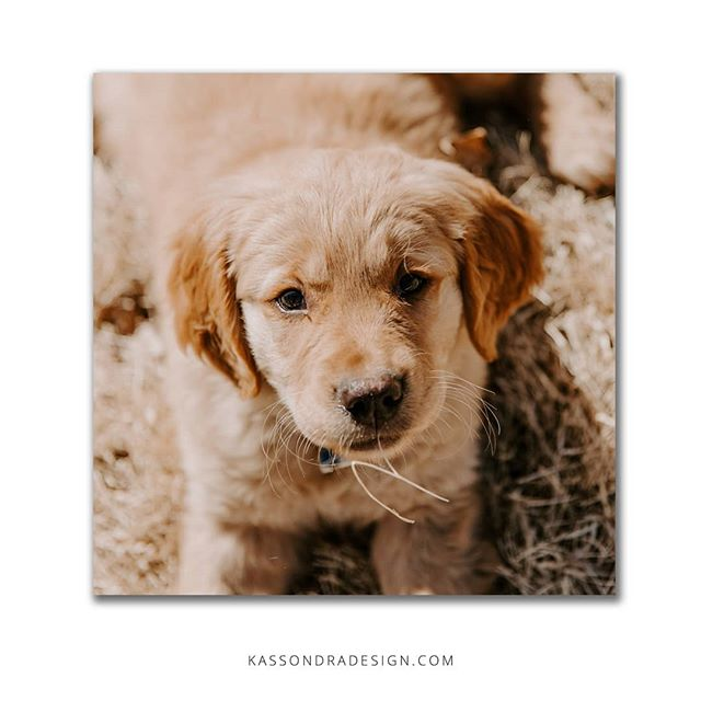 I interrupt your Thursday scroll to introduce you to my new puppy! .  K, that's all. .  #puppylove #newpuppy #kassondraphotography #nebraskapuppy #nepuppy #nebraskadesigner #goldenretriever #petsofnebraska #petsofinstagram #freelancedesigner