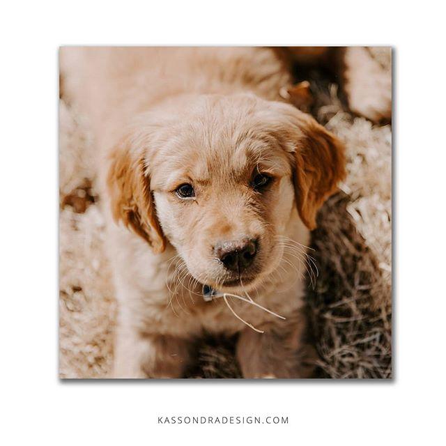 I interrupt your Thursday scroll to introduce you to my new puppy! .  K, that's all. .  #puppylove #newpuppy #kassondraphotography #nebraskapuppy #nepuppy #nebraskadesigner #goldenretriever #petsofnebraska #petsofinstagram #freelancedesigner