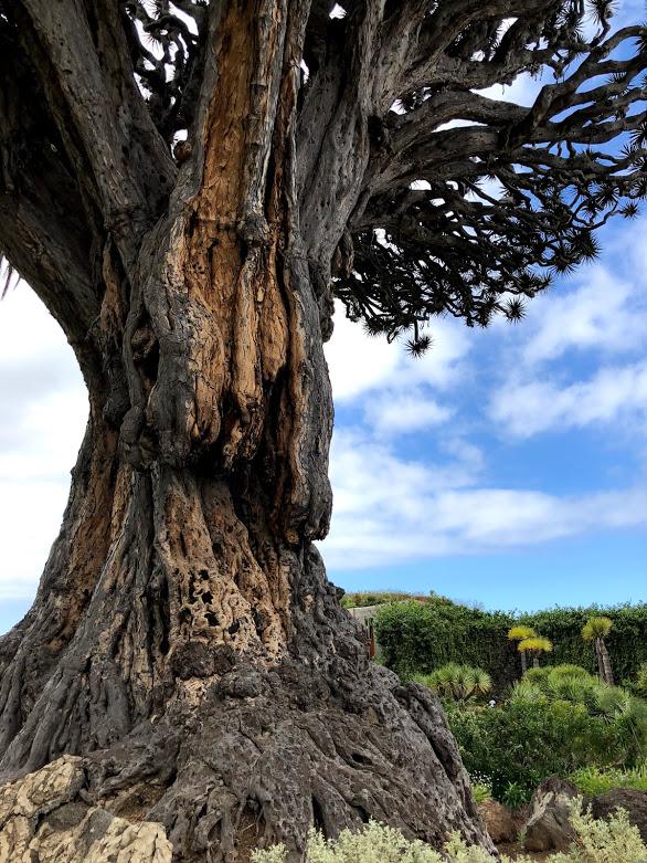 dragon tree tenerife.jpg