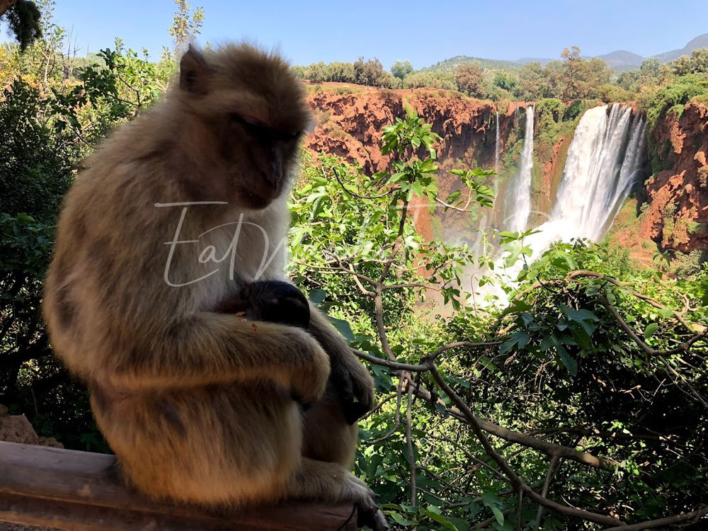 ouzoud waterfalls barbary ape momma.jpg