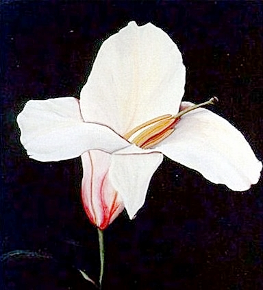 """Hybrid Lily"""