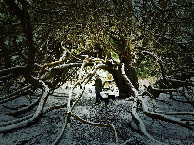 Kingley Vale in the snow  #oldway #snow #yew #tree #sussex #walk #pilgrimage