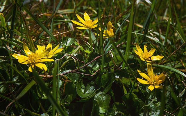 Lesser Celandine - Herald of Spring! Look out for her green heart leaves and bold sunny disposition on a verge or bank near you. Spring is come!