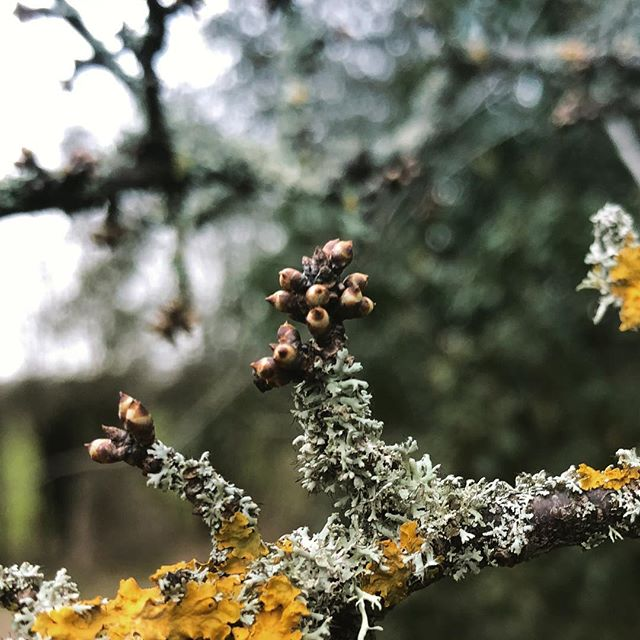 Blackthorn bubbles toward blossom... #oldway #pilgrimage #pilgrim #journey #way #path #camino #route #walk #britain #nature