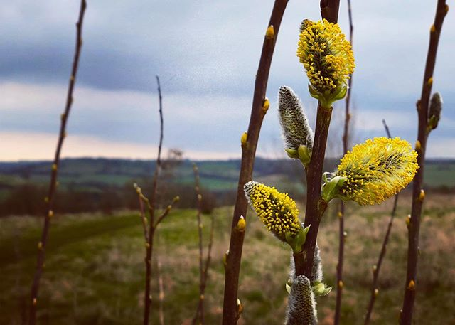 Willow blossom - smells as good as it looks!  #oldway #spring #pilgrimage #journey #walk #path #way #camino #nature